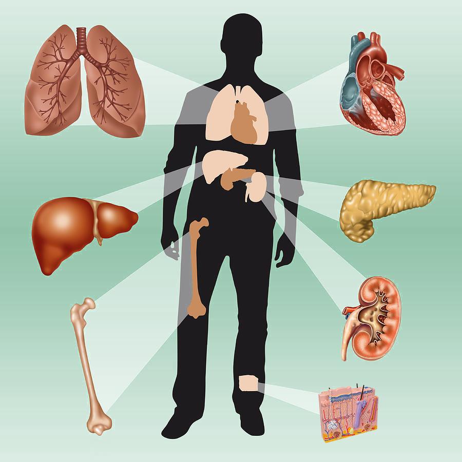 Die lebenswichtigsten Organe im Überblick
